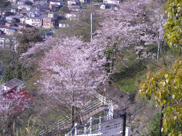 桜まだ咲いていた.JPG